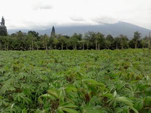 Perkebunan Singkong Manggu